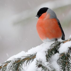 мой снегирь #понедельниконтакой